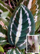'Tricol Schum K E. Morren *UNCLE CHAN 1 rhizome Ctenanthe oppenheimiana