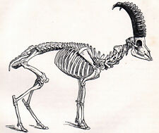 Skeleton Of The Ibex 1894 Goat Mammal Victorian Engraving