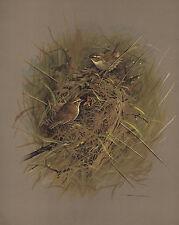 VINTAGE BIRD PRINT ~ WREN AT NEST ~ BASIL EDE