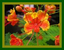 1,000 Seed Red Pride Of Barbados bulk Caesalpinia Pulcherrima Mexican Exo 2017