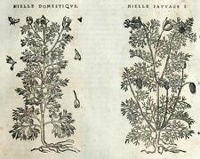 Graveolens Neguilla Botánica Matthioli Mattioli Matthiole Dioscorides