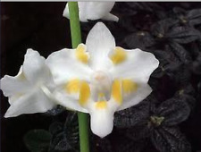 Doritis pulcherrima var. Chumpornensis 'White' orchid plant (27)