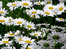 Shasta Daisy Seeds, Heirloom Seeds, Non-Gmo Perennial Wildflower Seeds 75 ct pk