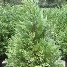Leyland Cypress, one-gallon evergreen plant
