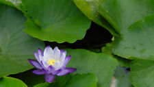 Liveseeds - Mini Blue Enchantress Bonsai Lotus/ Water Lily Flower /5 Fresh Seeds