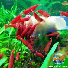 Fire Red Cherry - Freshwater Neocaridina Aquarium Shrimp. Live Guarantee