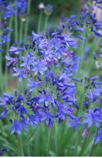 *NEW For 2019* Agapanthus 'Stephanie's Beauty' Very Hardy. National Collection