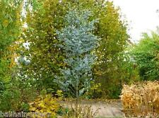 New Eucalyptus gunnii Azura ® tree sent out in 2 litre pot  hardy to -20C