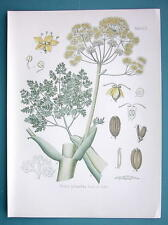 RESIN OIL Medicinal Plant Ferula Galbaniflua - Beautiful COLOR Botanical Print