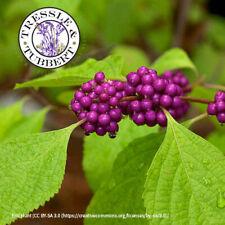 American Beautyberry Callicarpa Americana Rare 5 seeds UK SELLER