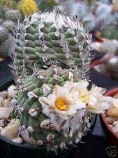 Turbinicarpus sp klinkerianus exotic miniature mexican rare cactus seed 20 SEEDS