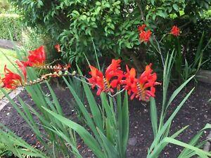 40+ Red Crocosmia Seeds - LucIfer - Perennial