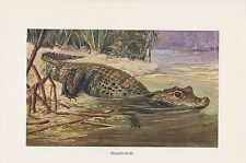 Stumpfkrokodil (Osteolaemus tetraspis) Krokodil Krokodile  Farbdruck 1912