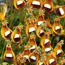 15pcs Raro Semillas Calceolaria Uniflora Alien Flores Amarillo Brillante Bonsái