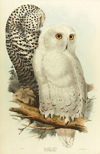 John Gould Native owl Birds print art painting Vintage framed canvas Australia