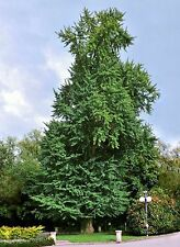 Ginkgo biloba Maidenhair Tree 1 Dormant Plant!