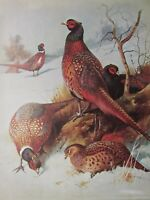 Fauna Selvatica Uccello Stampa ~ Fagiano Giapponese Fagiano ~ Thornburn