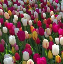 Tulip Bulbs Mix White Pink Blend Red Yellow Rare  Tall Spring Sun Flowers Plant