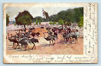 CALIFORNIA OSTRICH FARM EARLY M RIEDER 1900s UDB POSTCARD