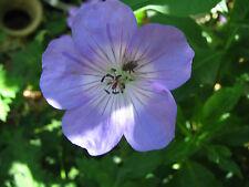 10 Stück Storchschnabel Geranium Johnsons Blue Flächendecker Sommerblüher