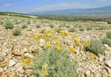 Helichrysum pur 100% naturreines ätherisches Öl Immortelle Zertifikat BIO 5ml