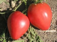 Anna Russian tomato seeds x 20