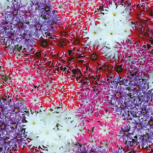 Phlox Popstars mixed - 50 seeds - Ideal for cut flowers - Annuals