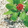 50Pcs Ginseng Flower Root Life Panax Rare 5 Kinds Beautiful Healthy Home Plants