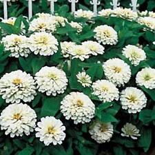 Zinnia Benary Giant White Annual Seed