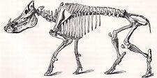 Skeleton Of Wild Boar 1894 Suid Mammal Victorian Engraving