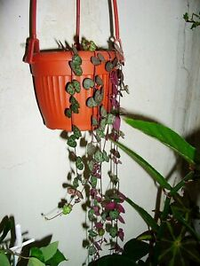 Ceropegia Woodii * String of Hearts * Flowering Plant * Very Rare * 3 Seeds *