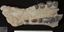 Rare Archaeotherium Partial Upper, Giant Pig Fossil, Badlands, South Dakota A249