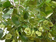 10 Seeds Pterocarpus santalinus, Red Sanders Seeds