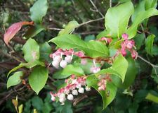 40 SALAL BERRY Gaultheria Shallon Pink White Flowers Blue Fruit Shrub Seeds