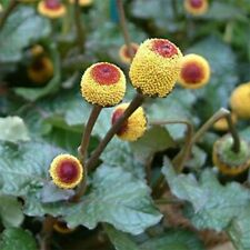 Toothache Plant- 100 Seeds- BOGO 50% off SALE