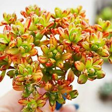 """15 cuttings Tree Aeonium-Red//Green-Jack Catlin Succulents 1-2.5/"""" Heads"""