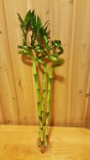 """3 Live Curly Lucky Bamboo Plants Indoor 18"""" Feng Shui Bamboo Plant Free Shipping"""