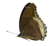Unmounted Butterfly/Nymphalidae - Hypolimnas bolina jacintha, FEMALE, Madagascar