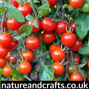 Sweet Cherry Tomato Seeds X 50 For £1.99 Only
