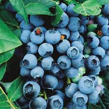 10 Blue Crop Blueberry Bushes / bare-root / In Stock ships now