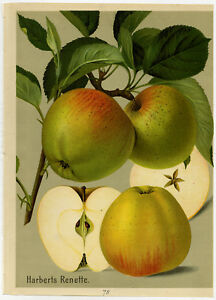 Antique Print-HARBERTS RENETTE-REINETTE-APPLE-78-Bissmann-ca. 1920