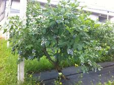 Pianta di MIRTILLO GIGANTE AMERICANO pianta già fruttifera in vaso Ø 11-14-18-25