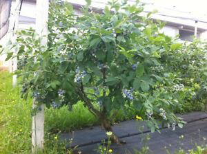 Mirtillo gigante americano frutti di bosco pianta già fruttifera in vaso