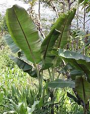 BANANA - Musa Helens hybrid 10 seeds
