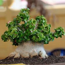 Dorset Horn Adenium Seeds, 2pcs Dwarf Desert Rose Tree Bonsai Interesting Unique