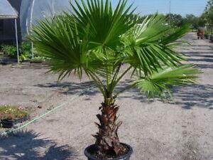 Washingtonia Filifera Palm Tree live plant