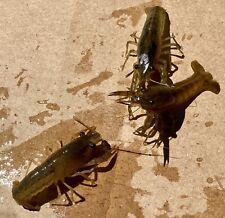 """2 + 1 LIVE BRAZOS / CAJUN DWARF CrawlFish Sm 1.5- 2"""" Crayfish Fish TEXAS Lobster"""