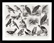 1874 Bilder Zoology Print Birds of Prey Owl Vulture Eagle Falcon Crow Paradise