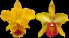 "Rlc Goldenzelle 'Lemon Chiffon' Am/Aos x King Midas' Gold; Nbs plant in 3.5"" pot"