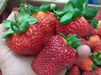 Fresa ( Fragaria ananassa )0,3 gr / 600 semillas - seeds freson frutilla fresas